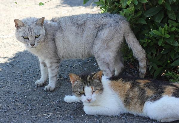 堂崎鼻の駐車場にいたグレーのネコと三毛猫の写真