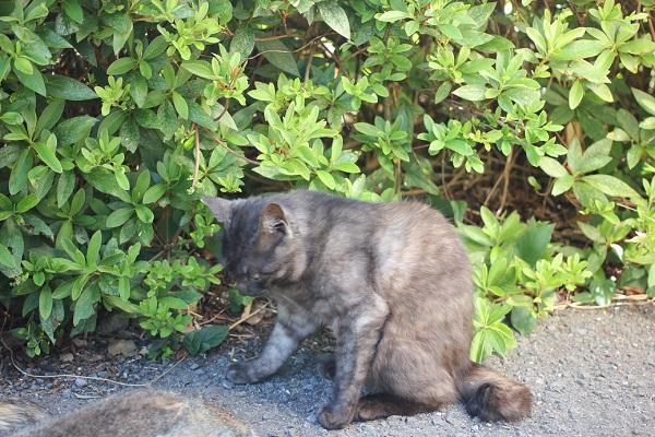 堂崎鼻の駐車場のネコ、ネコが集まったところにやってきた濃いグレーのネコの写真