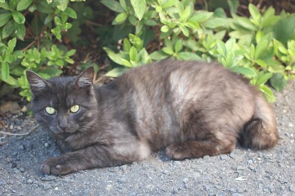 堂崎鼻の駐車場のネコ、休んでる濃いグレーのネコ写真