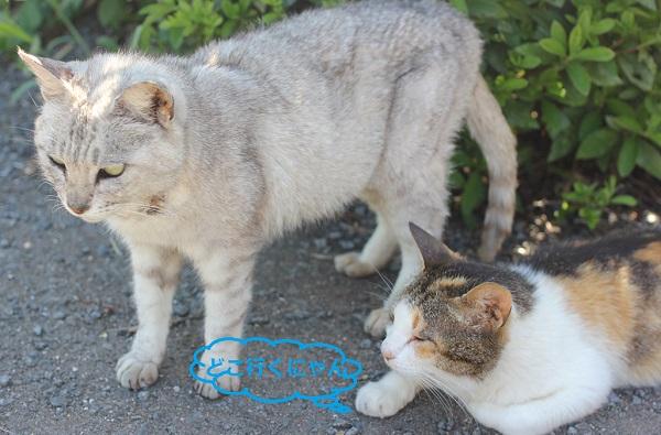 堂崎鼻の駐車場にいたネコ、立ち上がったグレーのネコと寝そべっている三毛猫の写真