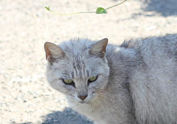堂崎鼻の駐車場にいたグレーのネコのアップ写真