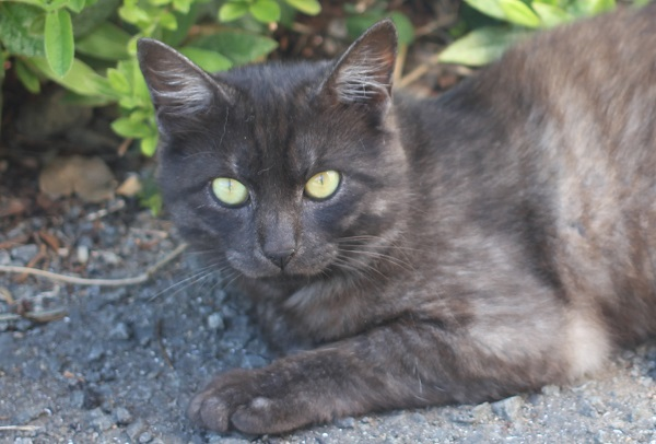 堂崎鼻の駐車場のネコ、こちらを見つめる濃いグレーのネコの写真