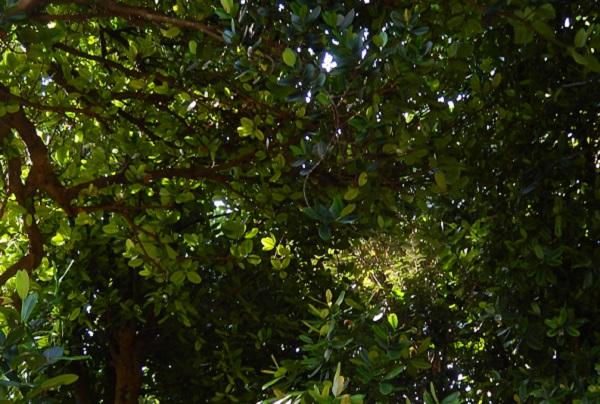 備瀬のフクギ並木、上を見上げた様子、葉が幾重にも重なり合ってる写真