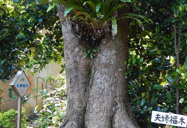 備瀬の夫婦福木の写真