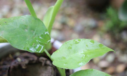 クワズイモ、根腐れしてる部分と新しい株から葉をつけてる様子の写真