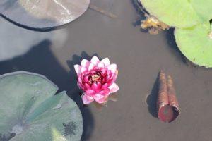 千町無田水田公園に咲く赤いスイレンの花の写真