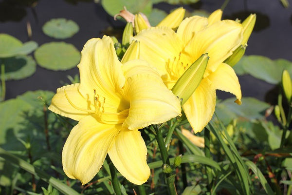 千町無田水田公園、黄色いヘメロカリスのアップ写真