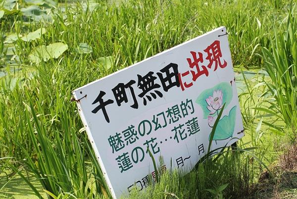 千町無田に出現 魅惑の幻想的 蓮の花・・花蓮と書いてある看板写真