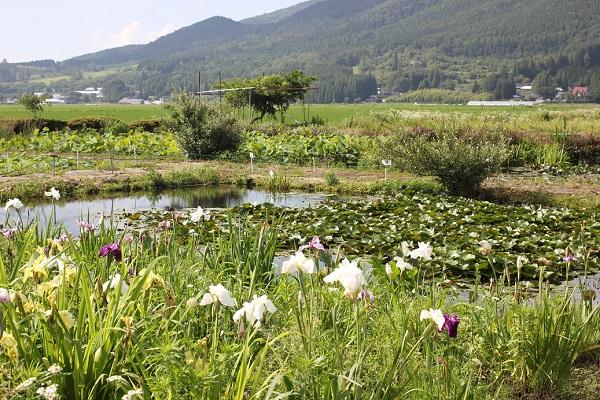 千町無田水田公園の山、スイレン園、菖蒲の風景写真