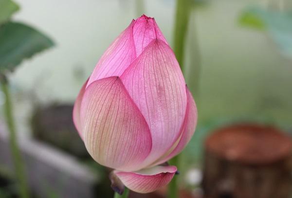 浄台蓮の美しい蕾の写真