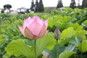 千栗土居公園に美しく咲くハスの写真