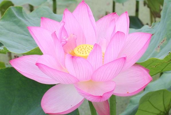 浄台蓮、美しい花のアップ写真