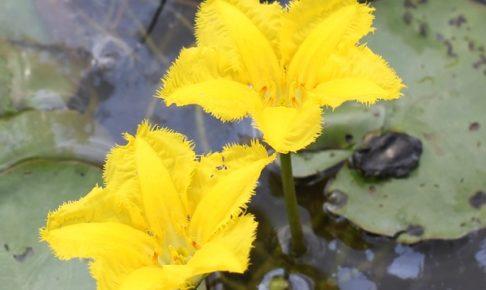 きれいなアサザの花と葉の上にいるカエルの写真