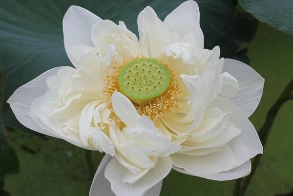 白万々、咲き誇った美しい花のアップ写真
