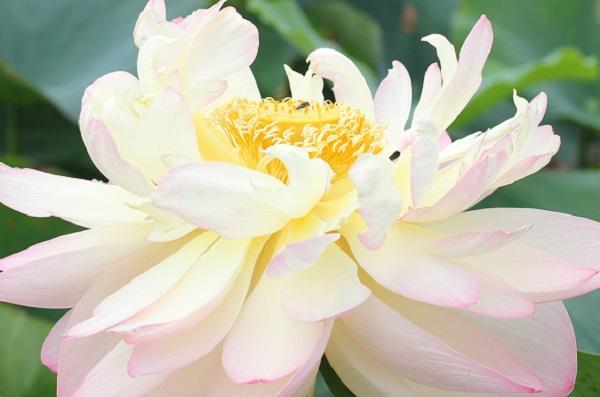 ミセス スローカムの咲き誇った様子のアップ写真