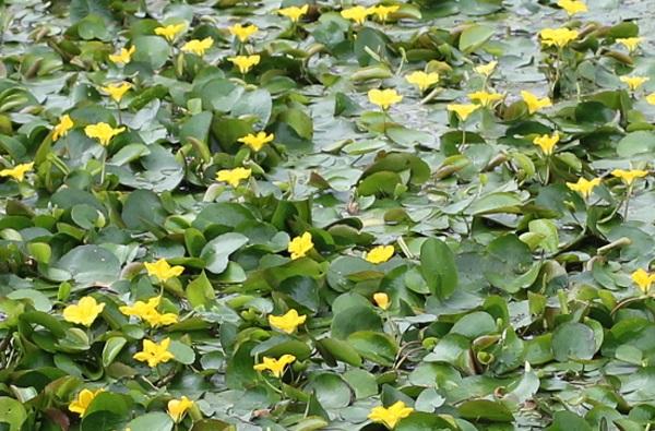 アサザの群生の写真(花、葉)