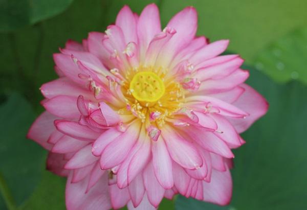 花びらがたくさん、ピンクの綺麗な茶碗蓮のアップ写真