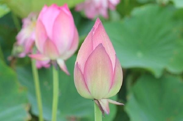 ピンクの茶碗蓮の蕾の様子の写真