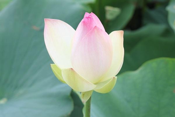 バラの蕾のような三色蓮の蕾の様子の写真