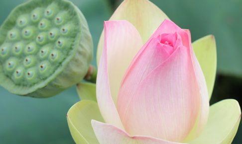 三色蓮の蕾と花托のアップ写真