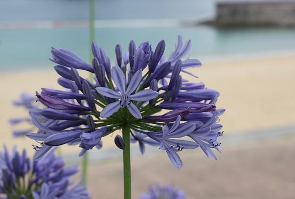 結いの浜の海を背景に美しく咲き誇ってる青いアガパンサスの写真