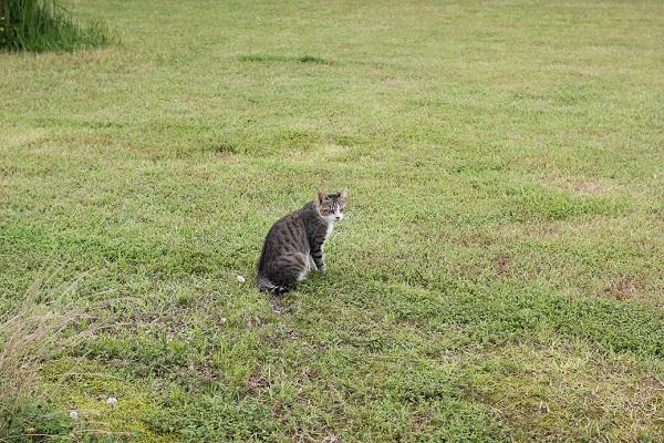 結いの花の芝生の上に、佇んでいた野良猫の写真