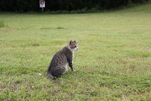 結いの花の芝生の上に座ってどこかを見つめてる様子の野良猫の写真