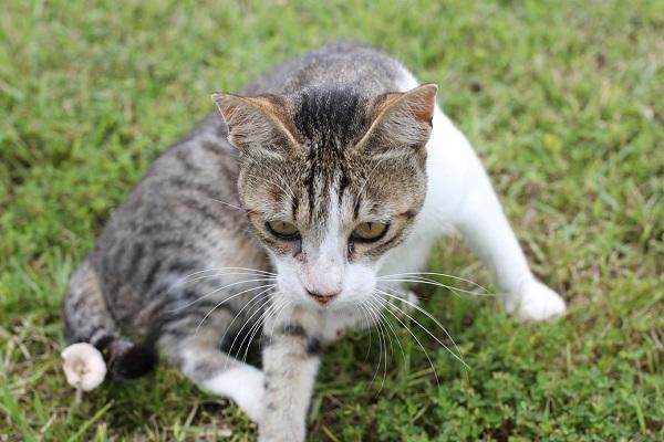 キーホルダーを捕まえようとする必死の表情と右手を前に出ている結いの浜の野良猫の写真