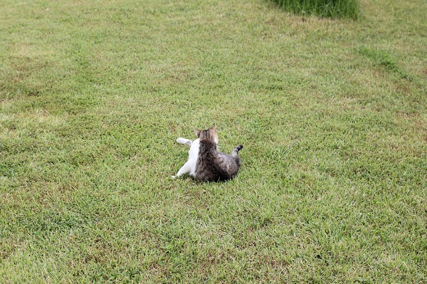 結いの浜の芝生の上、足をひろげて一生懸命に毛づくろいしている野良猫の後ろ姿の小さい写真