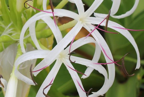 海辺に咲いてるハマユウの花のアップ写真