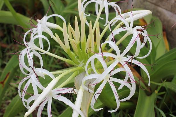 開花したハマユウの花の写真