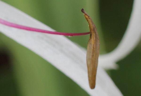 ハマユウ、雄しべの先端の葯のアップ写真