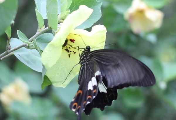 ハマユウの花にアゲハ蝶が蜜を吸ってる様子のアップ写真