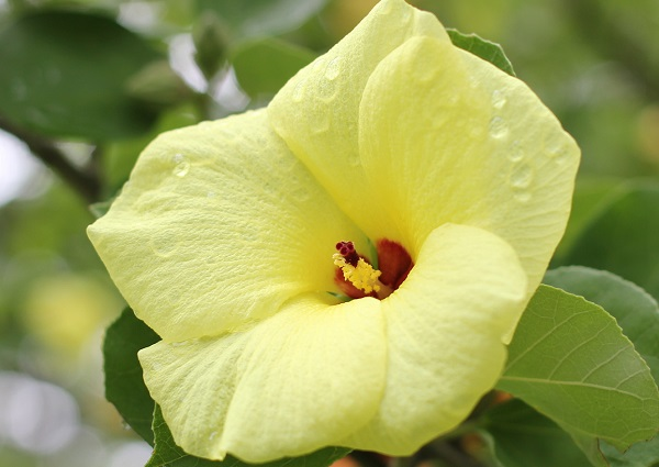 ハマボウ(浜朴、黄槿)の花の写真