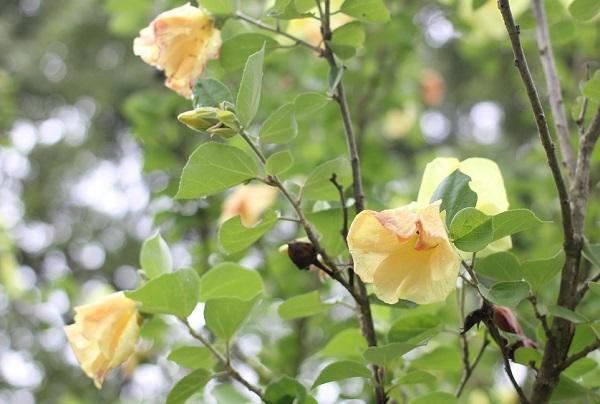 一日花のハマボウ、しぼんで燈色となっている様子の写真