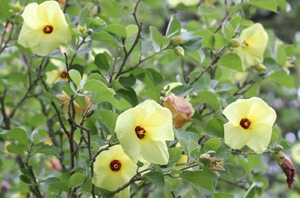 ハマボウが咲いてる様子の写真