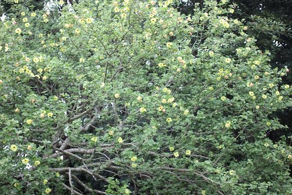 大きな木にたくさんのハマボウが咲いている様子の写真