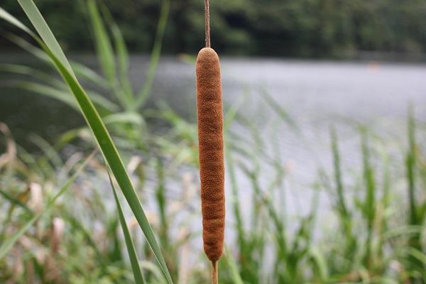 池の側にあったガマの穂の写真