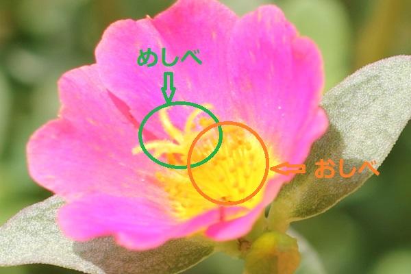 ポーチュラカの花の中の雄しべと雌しべの写真