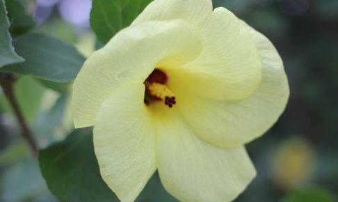 公園に咲いていたハマボウアイオのアップ写真