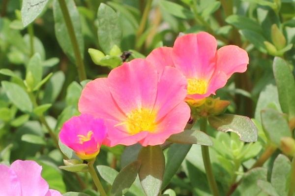 庭の花壇に植えた虹色ポーチュラカ、開花した可愛い花の様子の写真