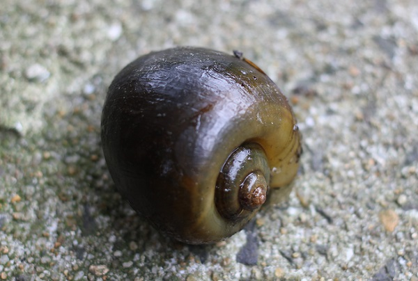 ジャンボタニシのアップ写真