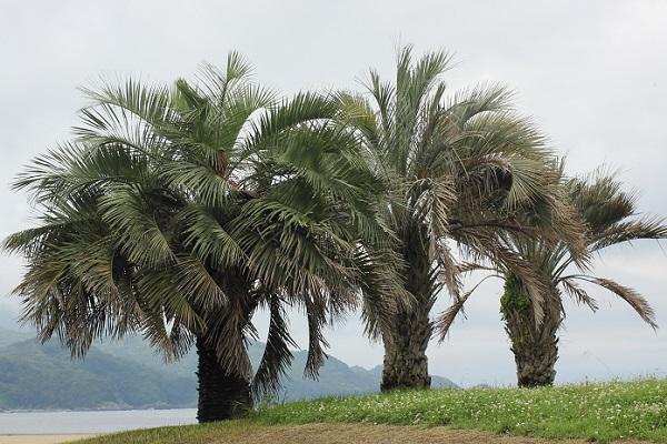海岸に植えられていた3本のナツメヤシの木の写真