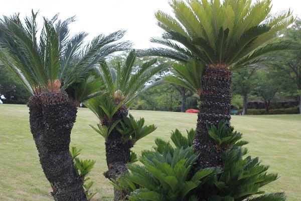 公園に植えられてる綺麗なソテツの木の写真