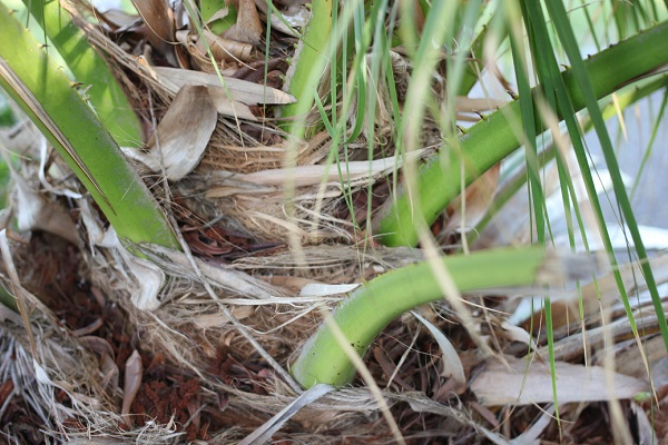 シュロの幹の様子の写真、(繊維皮質に覆われている)