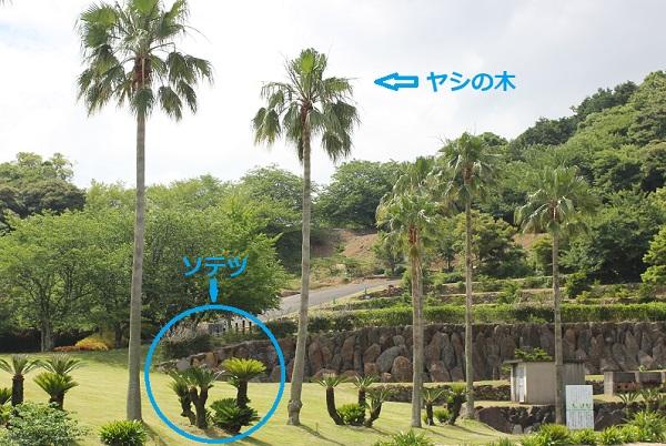 公園のヤシの木とソテツの木(違いの説明)