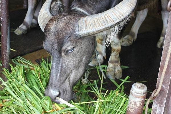 ビオスの丘にいた餌を食べてる水牛の写真