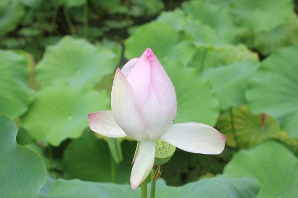 ビオスの丘の天染池、ピンクの綺麗なハスの写真