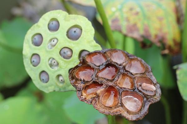 ビオスの丘の天染池のハスの花托の写真、種が入ってるものと種が落ちたもの