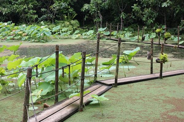 ビオスの丘の天染池の中央にある木道の様子の写真